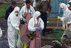 Шри-Ланка не способна остановить эпидемию птичьего гриппа